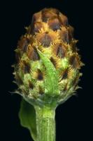 Centaurea stoebe ssp micranthos EP4490-06.png