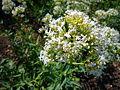 Centranthus ruber forma albus 2007-06-02 (flower).jpg