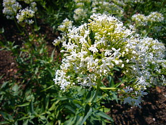 Centranthus ruber - White form of Centranthus ruber