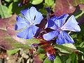 Ceratostigma plumbaginoides 'Hardy Blue-Flowered Leadwart' (Plumbagnaceae) flower.JPG