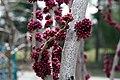 Cercis chinensis Avondale 19zz.jpg
