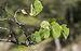 Cercis siliquastrum, Forêt domaniale de Sète, leaves 01.jpg