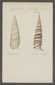 Cerithium fasciatum - - Print - Iconographia Zoologica - Special Collections University of Amsterdam - UBAINV0274 083 05 0020.tif