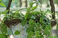 Ceropegia linearis - feuilles.jpg