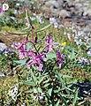 Chamaenerion latifolium (10.3897-zookeys.866.35084) Figure 3 (cropped).jpg