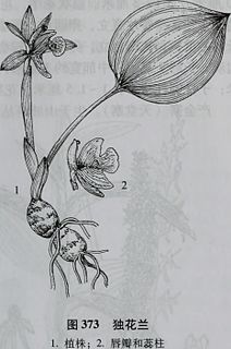 <i>Changnienia</i> genus of plants