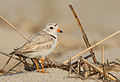 Charadrius melodus -Cape May, New Jersey, USA -adult-8 (4).jpg