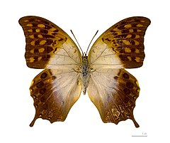 240px charaxes varanes vologeses (m%c3%a2le) (face dorsale)