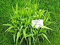 Chasmanthium latifolium - Berlin Botanical Garden - IMG 8617.JPG