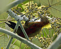 Checker-throated Woodpecker (Picus mentalis humii)