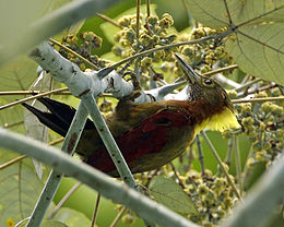 Checker-throated Woodpecker (Picus mentalis humii).jpg
