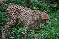 Cheetah (7612949362).jpg