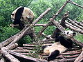 Chengdu-pandas in research station.jpg