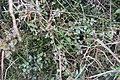 Chenopodium allanii Aellen (AM AK351785-4).jpg