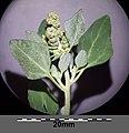 Chenopodium vulvaria sl38.jpg