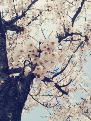Yeouido - Cherry Blossom Festival
