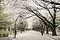 Cherry blossom, Japan; March 2013 (04).jpg