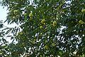 Chestnuts (30310225565).jpg
