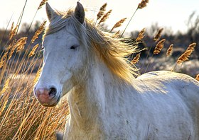 549997c813e Cheval de Camargue en liberté dans les marais de sa région d origine.