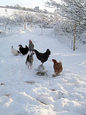 English: Chickens in the snow The chickens hav...