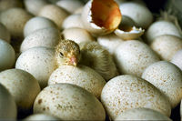 Chicks hatching USDA95c1973.jpg