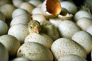 Chicks hatching (Gallus gallus domesticus)