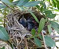 Chicks in nest. . Sardinian Warbler Sylvia melanocephala - Flickr - gailhampshire.jpg