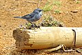 Chile-03112 - Diuca Finch (49072904696).jpg