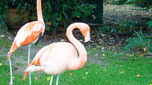Chilean flamingo - One preening itself