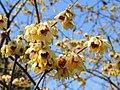 Chimonanthus praecox1SHSU.jpg