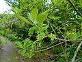 Chionanthus virginicus 2017-05-23 1369.jpg
