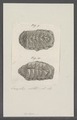 Chiton spec. - - Print - Iconographia Zoologica - Special Collections University of Amsterdam - UBAINV0274 081 06 0023.tif