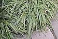 Chlorophytum comosum variegatum var. variegatum 1zz.jpg