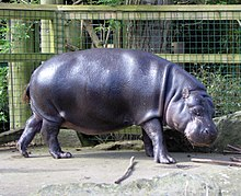Pygmy hippopotamus at Bristol Zoo in United Kingdom