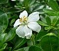 Choisya ternata (Flower) in Jardin des Plantes de Paris.jpg