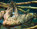 Choloepus didactylus (cropped).jpg