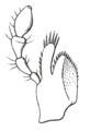 Chrysochus asclepiadeus maxilla Reitter.png