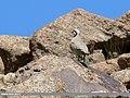 Chukar Partridge (Alectoris chukar) (37199094835).jpg