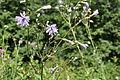 Cicerbita caucasica Caucasian Blue Sow Thistle დათვისმხალა.JPG