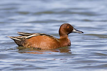 Cinnamon Teal - mating sequence, Los Osos (Cuesta by the Sea Inl.jpg