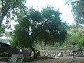 Cirerer de santa Llúcia del parc de l'Oreneta P1510577.jpg