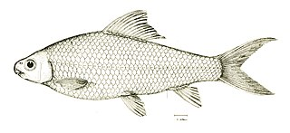 <i>Cirrhinus molitorella</i> species of fish
