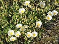 Cistus salviifolius (plant)
