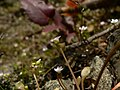 Claytonia perfoliata 38518.JPG