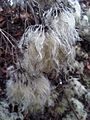 Clematis vitalba fruits - Kew Gardens 1.jpg