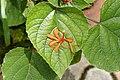 Clerodendrum speciosissimum 3040.jpg