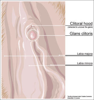 fold of skin which covers and protects the glans of the clitoris