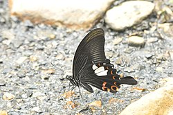 Close wing position of Papilio helenus Linnaeus, 1758 – Red Helen WLB DSC 0 196.jpg