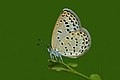 Close wing position of Pseudozizeeria maha Kollar, 1844 – Pale Grass Blue WLB DSC 2505.jpg