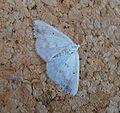 Clouded Silver. Lomographa temerata - Flickr - gailhampshire (1).jpg